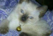 Dizzy Fox Bean  / Male Siam Cat