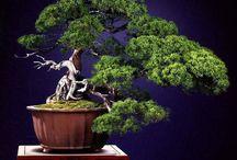 top bonsai