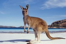 ANIMAL • Kangaroo