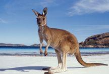 ANIMAL • Kangaroo