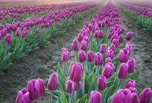 Tulipánok -tulip
