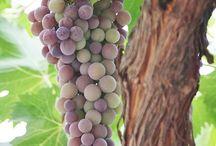 Uvas e Vinhedos