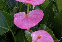 antúrio flor