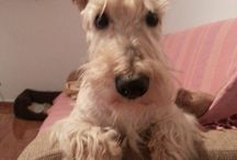 Scottish Terrier / My (sweet) dog- Whisky