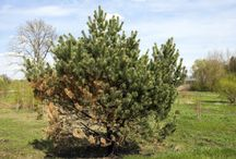 Tree Disease & Insect Infestation / Covering various tree diseases, insect prevention and other damaging tree health conditions.