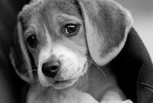 Beagles / by Rachel Barloon