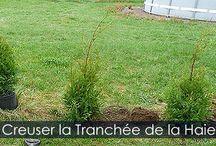 Planter une Haie de Cédres - Étapes Instructions de Plantation / Voir comment installer une haie de cèdres au jardin. Choisir la variété de cèdre ou thuyas, tranchée de plantation, terreau, fertilisation et taille.