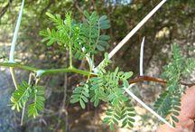 #SomaNet [Trees | Bome | Dihlare