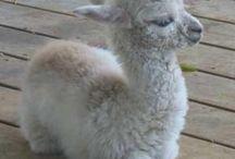 Alpaky