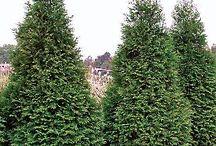 Thuja plicata 'Green Giant'