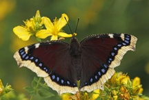 Butterflies - Admirals - Vossen