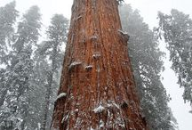 The Big Trees of California