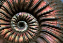 Ammonite / by Bonnie Koenig