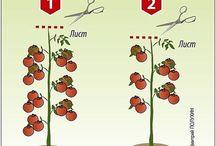 формирование томатов