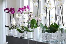 Orchidea idea