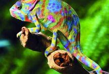 camaleones / se trata de las distintas especies de camaleones