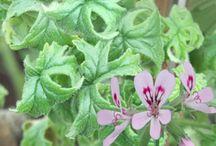 Duft | Pelargonium
