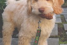 Goldendoodles, Labradoodles, Cockapoos et cetera / Dogs / by Jean Campbell Collen