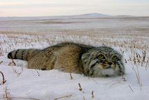 "Russian Wild Kitty - ""little"" one :D"