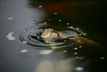 altro pesci