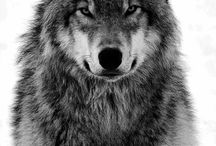 "Beautiful Wolves / ""the strength of the pack is the wolf and the wolf is the strength of the pack"" / by Jillie"