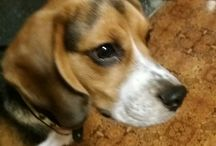 Heppu the beagle