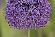 Spring Flowering Bulbs - Allium / With their length and distinct flower shape, alliums give your garden an extra dimension. Allium, also known as ornamental onion, is also very suitable as cut flower, though you do need a large vase.