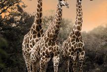 Фото - Жирафы