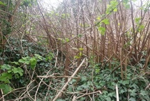 Japanese knotweed photos