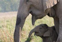 Elefantit.