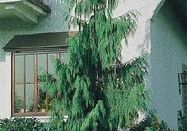 Evergreen Trees and Shrubs