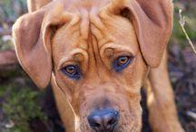 Freja / En side om vores Dogue de Bordeaux x Cane Corso hund.  Freja er født d. 24 august 2014 og er allerede et højt skattet medlem af familien!