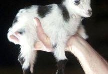 Pigmy goats