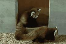 pandas|raccon