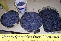 Gardening Blueberries