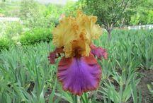 viorel irisi