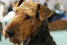 Airedale Cuteness
