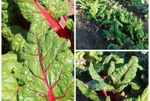 Mangold - Planta Curcubeu