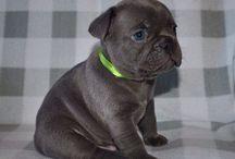 Dandi / Blue French bulldog