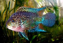 Sourh American Fish