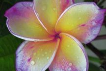 Frangipani / by Bradley Suiter