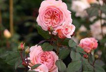 Englische Rosen / Die Blüten der Englischen Rosen bezaubern den Betrachter durch ihren einzigartigen Duft und die Fülle an Blättern, die an eine gefüllte Pfingstrose erinnern. Die Englische Rose erfreut sich aber auch wegen ihrer guten Gesundheit allergrößter Beliebtheit bei den Gärtnern. Hier habe ich die aus meiner Sicht schönsten Sorten zusammengetragen...