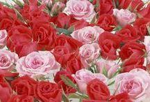 unas de las rosas mas bellas / este es un tablero que muestra diferentes tipos de rosas muy lindas