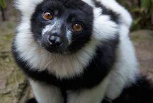 || Lemurs || ○.○