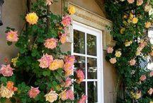 Garden rose -  Joseph's coat