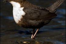 Birding in Norway