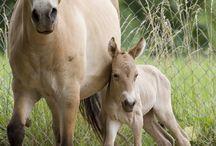 Le cheval de Przewalski / Autrefois, le cheval de Przewalski régnait sur toute l'Europe et une grande partie de l'Asie. Les hommes préhistoriques en laissèrent 610 représentations dans les grottes ornées de France, d'Italie et d'Espagne. Les plus anciennes remontent à 30 000 ans, et pour les plus récentes à 9 000 ans.