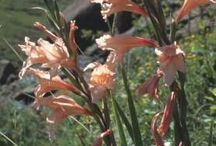 Gladiolus, habitat, history, description, classification