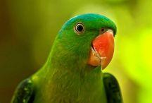 Tanygnathus / Genere composto da quattro specie di bellissimi pappagalli indonesiani di discreta taglia, apparentemente imparentati con l'ecletto ma anche con il pappagallo dal groppone. Sono caratterizzati da un becco particolarmente solido e dimensionato, da una struttura robusta e da una colorazione base verde. In cattività sono molto rari, ed i casi di riproduzione in condizioni di detenzione sono pochissimi.  http://www.pappagallinelmondo.it/tanygnathus.html