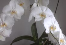 My Flowers / I love flowers, especially orchids. Here's some pictures of my favourite flowers.